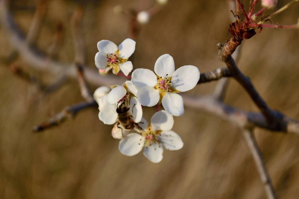 Квітчуюча у жовтні груша в Трахтемирові на КАнівщині. Фото МандрівникЧеркаси