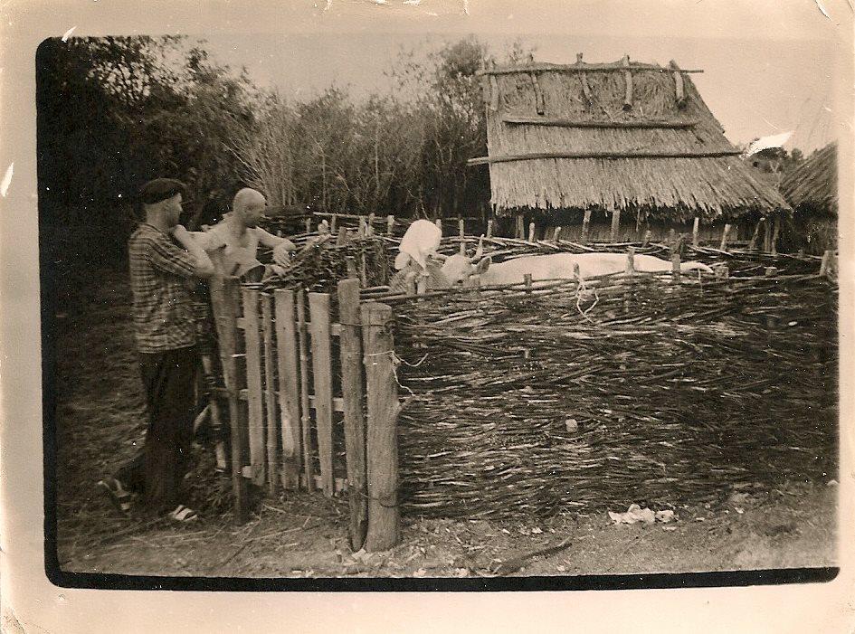 Фото з будинку Науменко (Дивнич – дівоче) Мотрі Павлівни (1925 р.н.). с. Розсошинці Чигиринського району. Сім'я біля корови у старому селі.