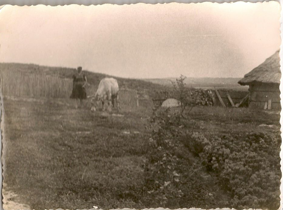 Фото з будинку Науменко (Дивнич – дівоче) Мотрі Павлівни (1925 р.н.) з с. Розсошинці Чигиринського району. Науменко Мотря Павлівна пасе корову