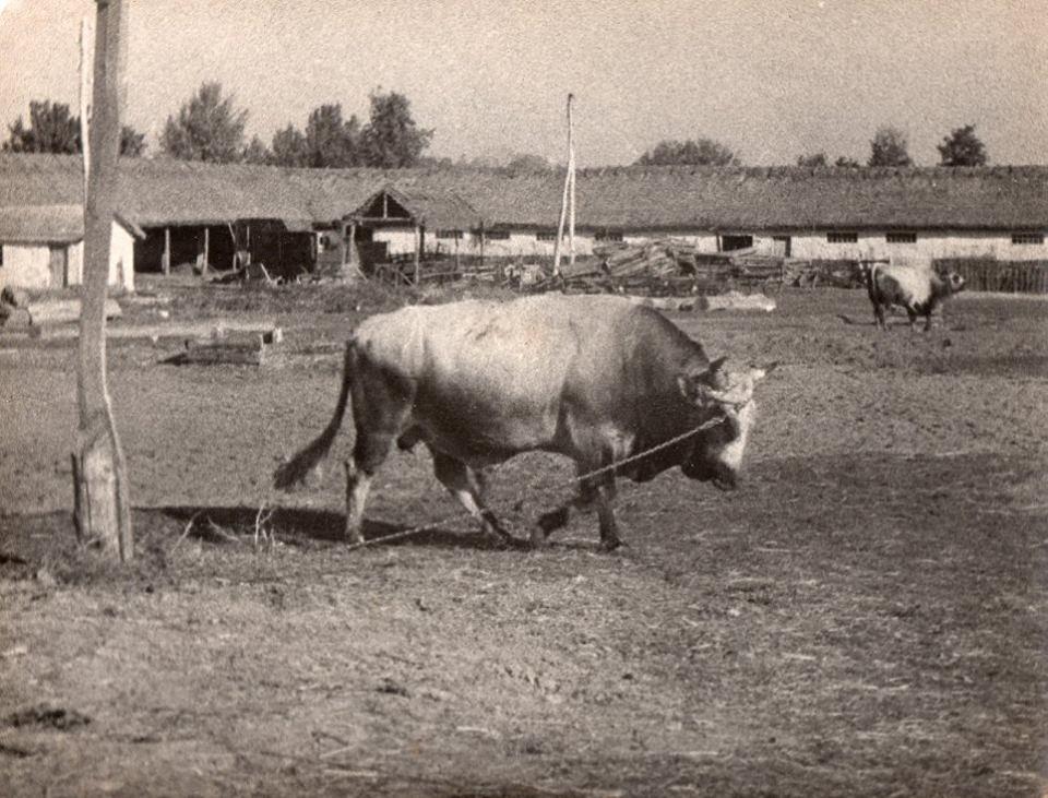 """Племінний бугай """"Зорік"""". с. Тарасівка, 1956 р."""