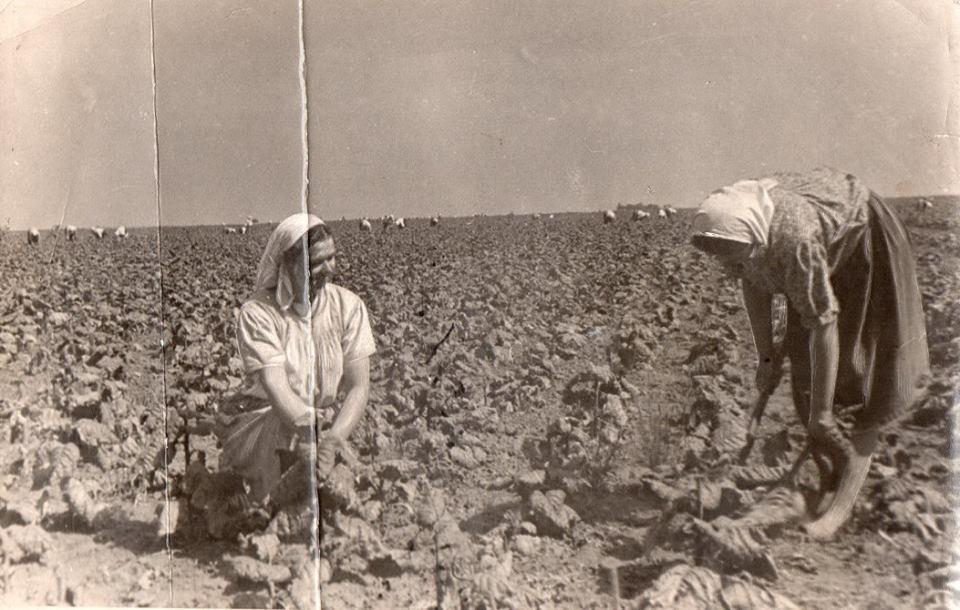 На буряках. с. Тарасівка, 1950-ті роки